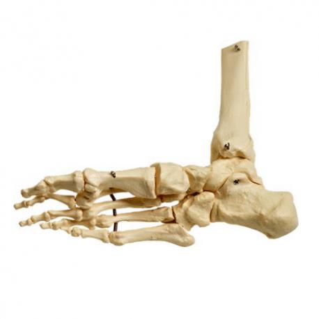 Piede  scheletrico